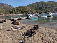 Koeien op het strand van Girolata