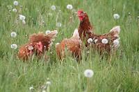 Vrije uitloop kippen