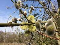 Voorjaar: bloeiende elzenkatjes
