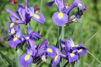 De Irissen bloeien