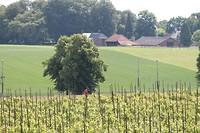 Wijngaard  Oosterbeek