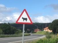 Uit de kluiten gewassen koe
