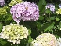 Nu bloeit de hortensia wel