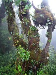 """Mossy Forest"" Tanah Rata - Cameron Highland."
