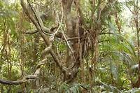 Regenwoud  in Kuranda