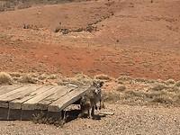Kangeroe zoekt beschutting (voor zon, niet de BBQ)