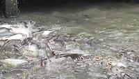vissen voeren op de Klongs