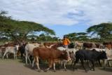 blog 4 - Wilco fietst tussen de koeien-001
