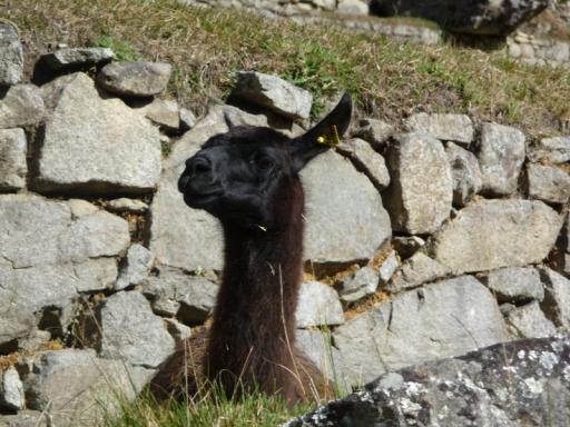 Llama!!