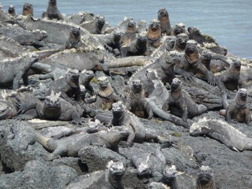 Hoopje iguana's