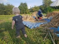 Mette bekijkt het oogsten van de rijst