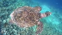 Raja Ampat: schildpadje
