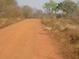 Een bosbok steekt de weg over