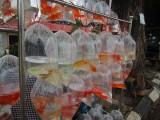 Goudvissen in plasticzakjes aan een rek op straat