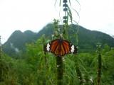 Vlinder close-up, heuvels op achtergrond