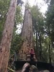 Huon Pines