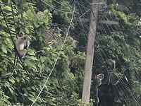 Apen op electriciteitsdraden