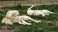 Witte leeuwen!
