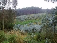 Landschap met aanwas van eucalytusbomen