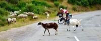 schapen en geiten blokkeren hier de weg