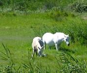 de Camargue met witte paarden