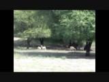 Antilope cervicapra / Blackbuck / Indische antilope