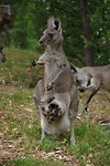 Kangaroes op de camping