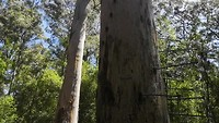 Bicentenial tree
