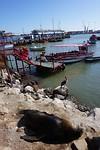 Zeeleeuwen en pelikaanen aan het chillen in de haven van Arica
