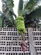 1 van de vele bananenplantages