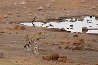 luipaard (2)