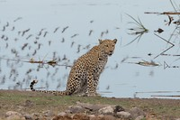 luipaard (3)