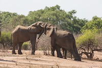 Olifanten, gelukkig druk met elkaar