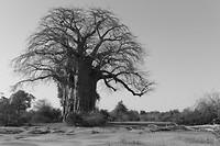 Baobab (in zwart wit)