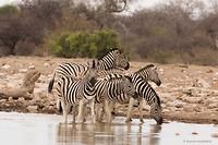 Zebra's, altijd alert