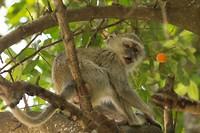Velvet aapje op zoek naar iets lekkers