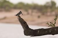 zwart-witte Kingfisher