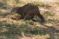 Mongoos_