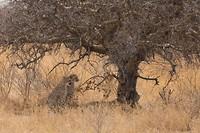 Cheetah-jongen