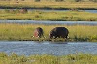 8 Grazende nijlpaarden-1