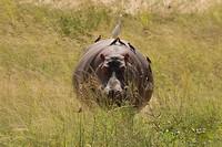 9 Nijlpaard met lifters-1