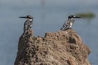 22 Kingfishers-1