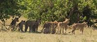 29 leeuwinnen op jacht-1