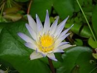 Zomaar een waterlelie in waterbakken van het House of Sampoerna