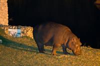 Hippo aan het grazen