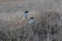 Twee vogels in het riet
