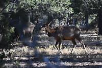 Elands (Wapiti) in het bos bij de camping