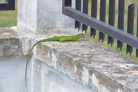 De Surinaamse Groene Hek Hagedis
