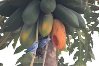 De blauwe papaya mussen