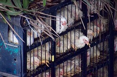 Zielige kippen op ferry bij Balikpapan